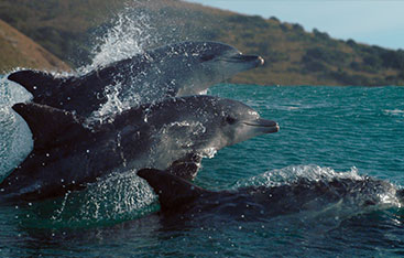 Dolphins jump in the ocean.