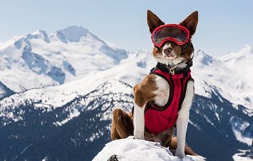 A rescue dog wearing snow gear stands in the mountains.