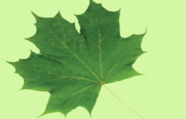 A green maple leaf.
