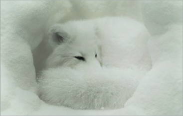 Photo of an Arctic Fox curled up in the snow
