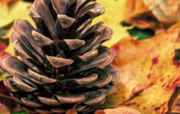 A close up image of a pinecone.