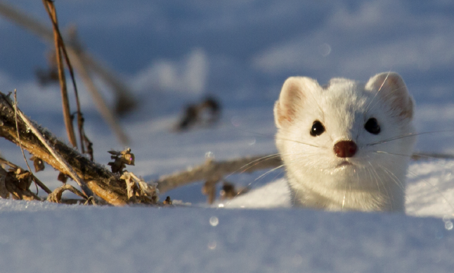 An ermine pokes its head over the snow.